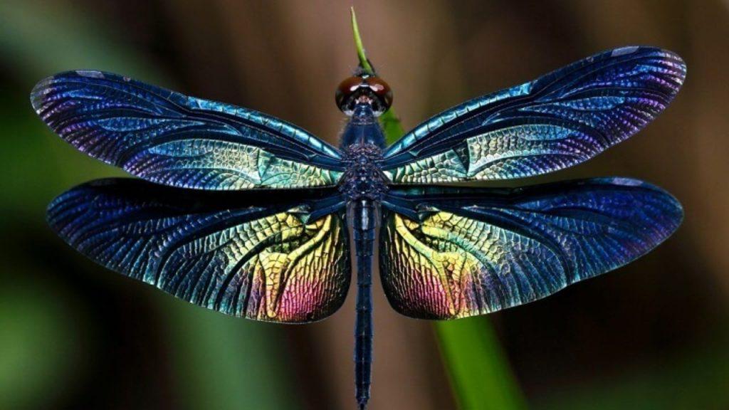 libellule 4 ailes